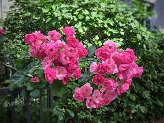 Eine Wolke aus Rosen (Sockenhummel) Tags: rosen vorgarten blüten hecke rosenbusch frontgarden blumen wilmersdorf blossoms rosenblüten rosengarten rosengarden