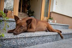 Milly 06-2019 (1) (Armin Rodler) Tags: animal animaisch hund dog pinscher labradorf baden leitha österreich austria pet buddy milly 2019 june juni armin rodler panasonic lumix lx15