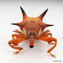 Tiny spiny Weevil, Prionomerus sp.? Curculionidae (Ecuador Megadiverso) Tags: 4mm beetle camarotini coleoptera curculionidae curculioninae prionomerinae prionomerussp spiny weevil