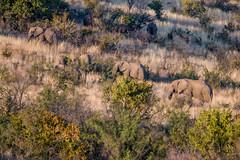 How many are we? Pilanesberg, South Africa (http://www.guidogavazzi.it/englishome.html) Tags: south africa safari animals nature elephants wild openspace outdoor sun african wildlife eléphant de savane dafrique bush elephant elefante
