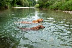 Buddy und Milly 06-2019 (3) (Armin Rodler) Tags: animal animaisch hund dog pinscher labradorf baden leitha österreich austria pet buddy milly 2019 june juni armin rodler panasonic lumix lx15