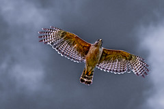 On the wing (FotoFloridian) Tags: bird nature animal wildlife blue red closeup flying backgrounds hovering carnivore animalsinthewild beautyinnature sony a6400 alpha hawk raptor florida
