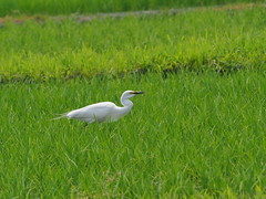 Great egret (Ardea alba, ダイサギ) (Greg Peterson in Japan) Tags: tsuji ritto egretsandherons shiga wildlife birds 野鳥 ダイサギ japan 滋賀県 栗東市 shigaprefecture