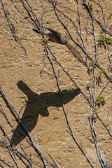Kestrel & Shadow (fascinationwildlife) Tags: animal bird birding shadow kestrel europe european male falke falcon turmfalke wall inflight wild wildlife wildlifephotography photography fotografie nature natur naturephotography munich deutschland germany bayern bavaria urban city vogel raubvogel greifvogel
