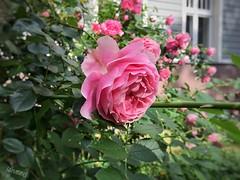 The one and only - in der ersten Reihe (Sockenhummel) Tags: rosen vorgarten blüten hecke rosenbusch frontgarden blumen wilmersdorf blossoms rosenblüten rosengarten rosengarden