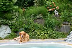 Buddy, Milly, Kasimir 06-2019 (Armin Rodler) Tags: animal animaisch hund dog pinscher labradorf baden leitha österreich austria pet buddy milly 2019 june juni armin rodler panasonic lumix lx15