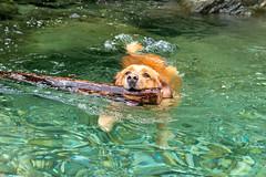 Buddy 06-2019 (19) (Armin Rodler) Tags: animal animaisch hund dog pinscher labradorf baden leitha österreich austria pet buddy milly 2019 june juni armin rodler panasonic lumix lx15