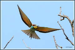 Guêpier vol 190619-01-P (paul.vetter) Tags: oiseau ornithologie ornithology faune animal bird guêpierdeurope meropsapiaster europeanbeeeater bienenfresser abejarucoeuropeo coraciiformes