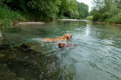 Buddy und Milly 06-2019 (2) (Armin Rodler) Tags: animal animaisch hund dog pinscher labradorf baden leitha österreich austria pet buddy milly 2019 june juni armin rodler panasonic lumix lx15