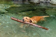 Buddy 06-2019 (13) (Armin Rodler) Tags: animal animaisch hund dog pinscher labradorf baden leitha österreich austria pet buddy milly 2019 june juni armin rodler panasonic lumix lx15