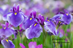 Purple iris flowers (yumehana) Tags: beauty blue flower frontorbackyard garden greencolor horizontal ibarakiprefecture inbloom irisplant japan japaneseiris nopeople outdoors photography plant planting purple summer sunny ushikucity whitecolor park