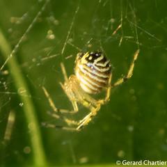 Theridion zonulatum (GeeC) Tags: arachnida animalia theridiidae araneomorphae nature arthropoda kohkongprovince araneae cambodia theridionzonulatum tatai theridion cobwebweavers spiders truespiders ឃុំឫស្សីជ្ kohkong