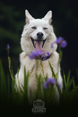 Picture of the Day (Keshet Kennels & Rescue) Tags: adoption dog ottawa ontario canada keshet large breed dogs animal animals pet pets field nature photography husky wink flowers happy smile tongue summer spring garden cute expression funny