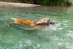 Buddy 06-2019 (17) (Armin Rodler) Tags: animal animaisch hund dog pinscher labradorf baden leitha österreich austria pet buddy milly 2019 june juni armin rodler panasonic lumix lx15