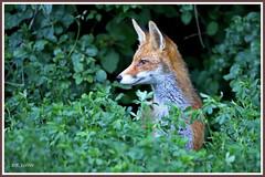Renard 190620-01-P (paul.vetter) Tags: renard goupil vulpesvulpes mammifère canidé carnivore fox fuchs zorro volpe raposa