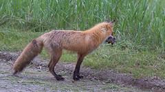 Renard roux, Red fox - Parc national du Bic, QC, Canada - 3053 (rivai56) Tags: renardroux redfox parcnationaldubic qc canada 3053 renard fox sepaq bic park animal avec des gerbilles dans la bouche with gerbils mouth