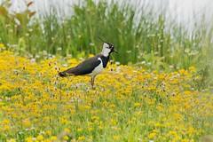 Lapwing (mikedoylepics) Tags: animals british birds bird d4 nikond4 nature nikon norfolk pensthorpenaturalpark pensthorpe w lapwing