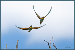 Guêpiers vol 190620-01-P (paul.vetter) Tags: oiseau ornithologie ornithology faune animal bird guêpierdeurope meropsapiaster europeanbeeeater bienenfresser abejarucoeuropeo coraciiformes