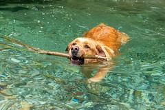 Buddy 06-2019 (9) (Armin Rodler) Tags: animal animaisch hund dog pinscher labradorf baden leitha österreich austria pet buddy milly 2019 june juni armin rodler panasonic lumix lx15