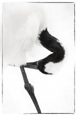 Élégance.. (Grue du Japon).., (chana4 ( Nancy Charlton)) Tags: noir bec blanc plume gruejaponaise patte