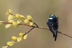 ''La brise est douce!'' Hirondelle bicolore-Tree swallow (pascaleforest) Tags: oiseau bird animal passion nikon nature wildlife faune wild québec canada