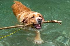 Buddy 06-2019 (6) (Armin Rodler) Tags: animal animaisch hund dog pinscher labradorf baden leitha österreich austria pet buddy milly 2019 june juni armin rodler panasonic lumix lx15