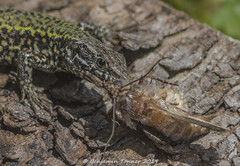 Wall Lizard - Podarcis muralis 1 (frattonparker) Tags: btonner isleofwight lightroom6 nikkor105mmafsmicrof28ged nikond810 prime raw frattonparker walllizard podarcismuralis ventnor moth reptile