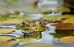Neighbourhood watch ... (johco266) Tags: frog groenekikker amfibie grenouille pelophylax frosch rana amphibian amphibie amphibium nature natuur naturaleza natur macro macrophotography nikon backyard gardensafari alittlebeauty