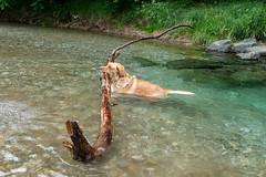 Buddy 06-2019 (2) (Armin Rodler) Tags: animal animaisch hund dog pinscher labradorf baden leitha österreich austria pet buddy milly 2019 june juni armin rodler panasonic lumix lx15