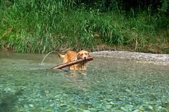 Buddy 06-2019 (1) (Armin Rodler) Tags: animal animaisch hund dog pinscher labradorf baden leitha österreich austria pet buddy milly 2019 june juni armin rodler panasonic lumix lx15