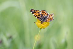 Summer feeling (Mariannevanderwesten) Tags: butterfly vlinder macro canon orange oranje yellow geel nature natuur