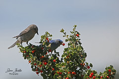 Berry nice lunch! (littlebiddle) Tags: bird aves natire wildlife feathers feather washington ellensburg