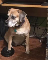 Tallulah - June 2019 - 2 (booboo_babies) Tags: dog cute 2019 pets june2019
