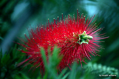 The red-bottle-brush by iezalel williams IMG_1348-002 (iezalel7williams) Tags: redbottlebrushplant photography outdoor red green canoneos700d plant closeup photo beautiful bokeh yellow flora greenbackground nature flower floral beauty exotic tropical
