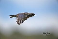 Bluebird on the move! (littlebiddle) Tags: bird aves natire wildlife feathers feather washington ellensburg