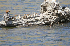 She knows how to keep her ducks in a row! (littlebiddle) Tags: bird aves natire wildlife feathers feather washington ellensburg