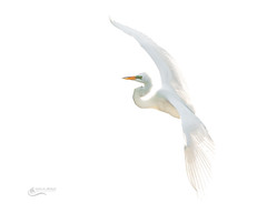 Great White Egret _ high key (Chris St. Michael) Tags: greatwhiteegret egret highkey bird birdinflight nature naturephotography wildlife wildlifephotography
