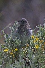 Baby blue! (littlebiddle) Tags: bird aves natire wildlife feathers feather washington ellensburg