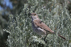 Sage Thrasher singing his song! (littlebiddle) Tags: bird aves natire wildlife feathers feather washington ellensburg