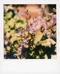 Hollywood Spring - Serbian Bellflower 2 (tobysx70) Tags: polaroid originals color 600 instant film slr680 hollywood spring serbian bellflower beachwood canyon hills los angeles la california ca trailing flower plant perennial lavender purple petals green leaves campanula poscharskyana campanulaceae bokeh mint lens set closeup toby hancock photography