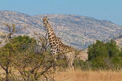 Giraffe 01, Pilanesberg, South Africa (http://www.guidogavazzi.it/englishome.html) Tags: giraffe south africa nature wild safari free outdoor