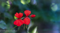 Contrast (frederic.gombert) Tags: geranium flower flowers green blue light color colors sun sunlight flora macro nikon summer spring