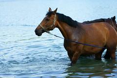 Equus caballus - Hauspferd (PictureBotanica) Tags: tiere säugetiere pferde hauspferd reiten reitsport pferdesport wasser
