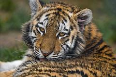 Closeup of a cub (Tambako the Jaguar) Tags: tiger big wild cat amur siberian female tigress young cub cute close portrait face lookingback lying relaxing looking pretty walter zoo gossau switzerland nikon d5 grooming licking tongue