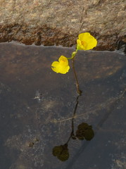 Flat-leafed bladderwort (yooperann) Tags: small yellow flower water reflection rock quaking bog wildflower upper peninsula michigan
