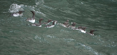 Guillemots on the Sea (hedgehoggarden1) Tags: guillemots sea birds rspb wildlife nature animals sonycybershot yorkshirebelle yorkshire uk creatures sony waves seabirds