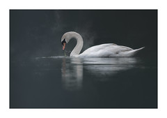Beauty and Grace (janinelee66) Tags: swan reflections water stillwaters waterdroplets one bird white calm weed