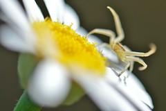 Araignée (Melvin. A) Tags: animalière animalier animaux araignee animal spider macro macrounlimited macrodreams macr fleur flower fleurs flowers