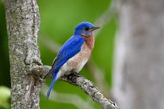 Eastern Bluebird (male) (Linda Ramsey) Tags: birds nature outdoors june summer ontario bird blue bluebird