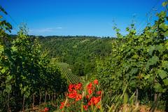 Poppies and Vines (FocusPocus Photography) Tags: weinberg vineyard rebstöcke vines mohnblumen poppies bumen flowers aussicht view badenwuerttemberg deutschland germany